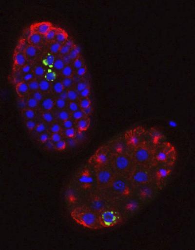 piRNAs - genome stability