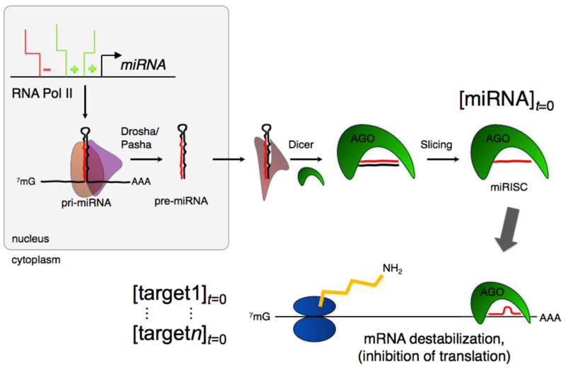 miRNA regulatory networks