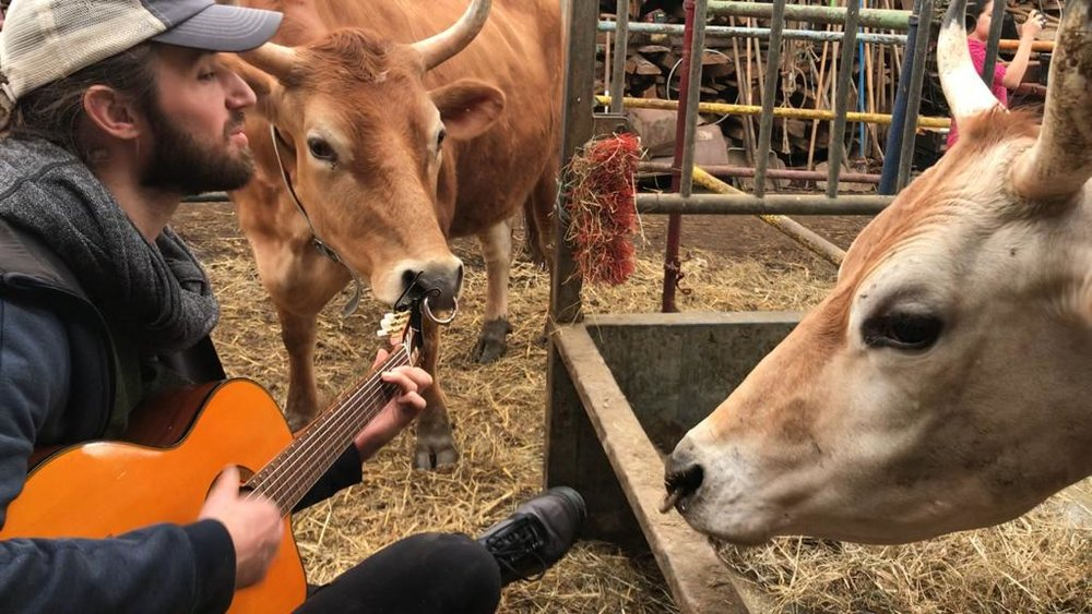 Ben enjoying a musical moment with some curious cows at Radhadesh