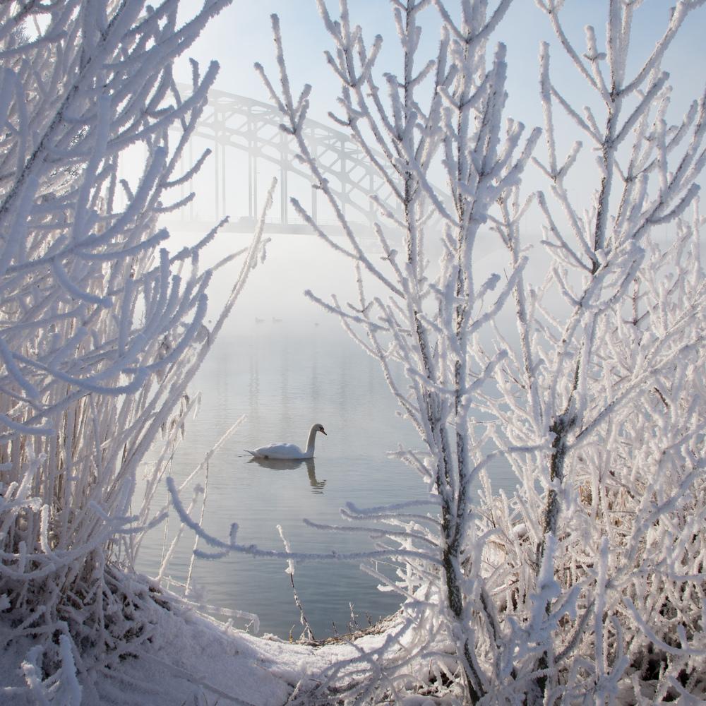 Winter Swan.jpg