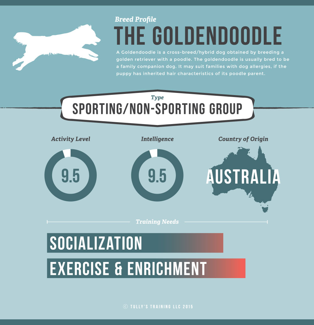 Goldendoodle Breed Infographic