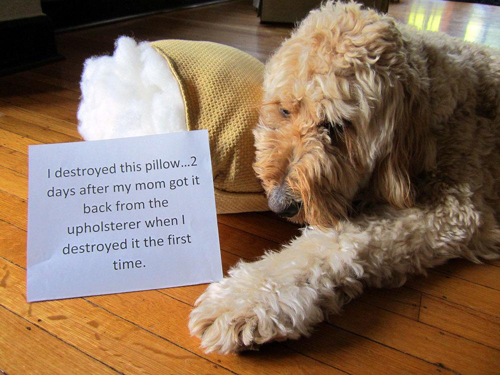 Goldendoodle shame