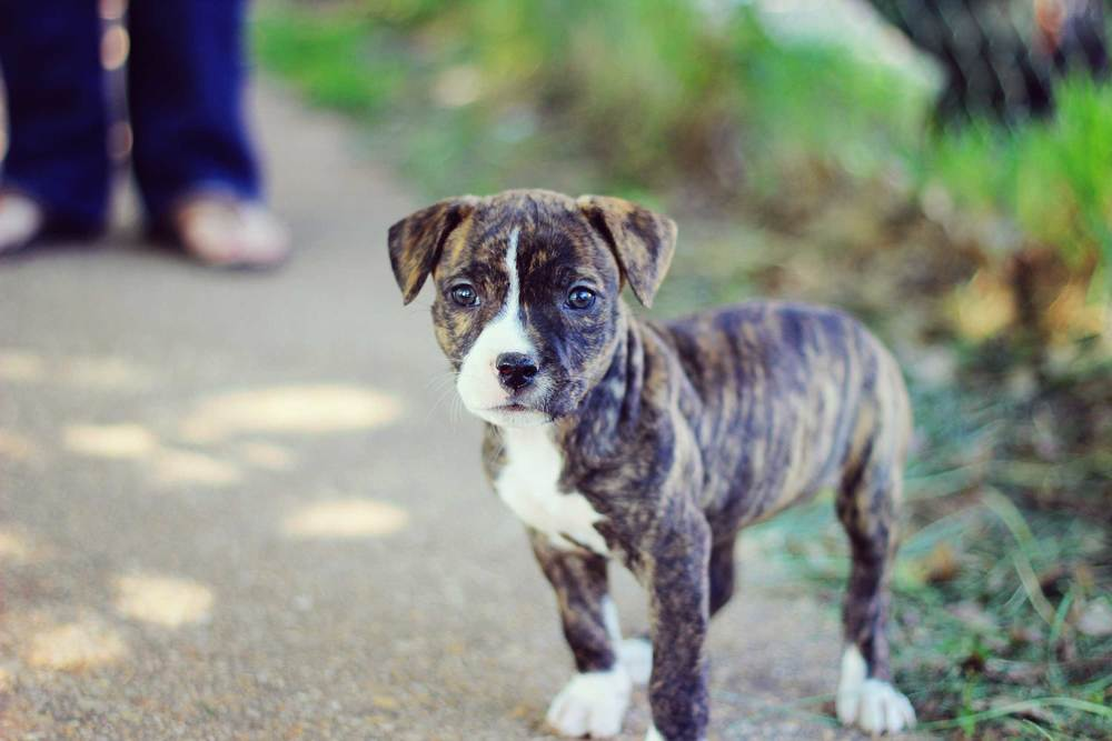 how to train your pit bull tully s training