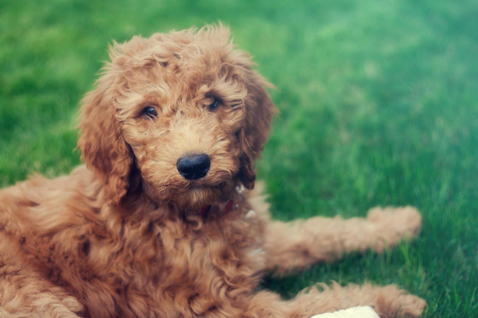 Training Your Doodle Strategies For Golden Doodles And Labradoodles