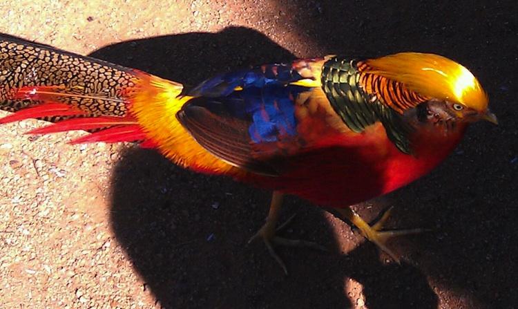 pheasant 750w.jpg