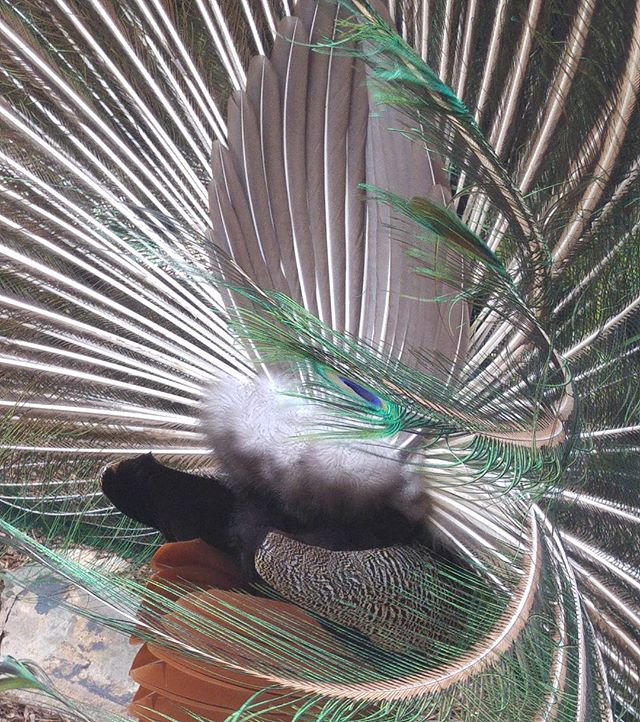 #Peacock in the wind. Dynamic #feather show.