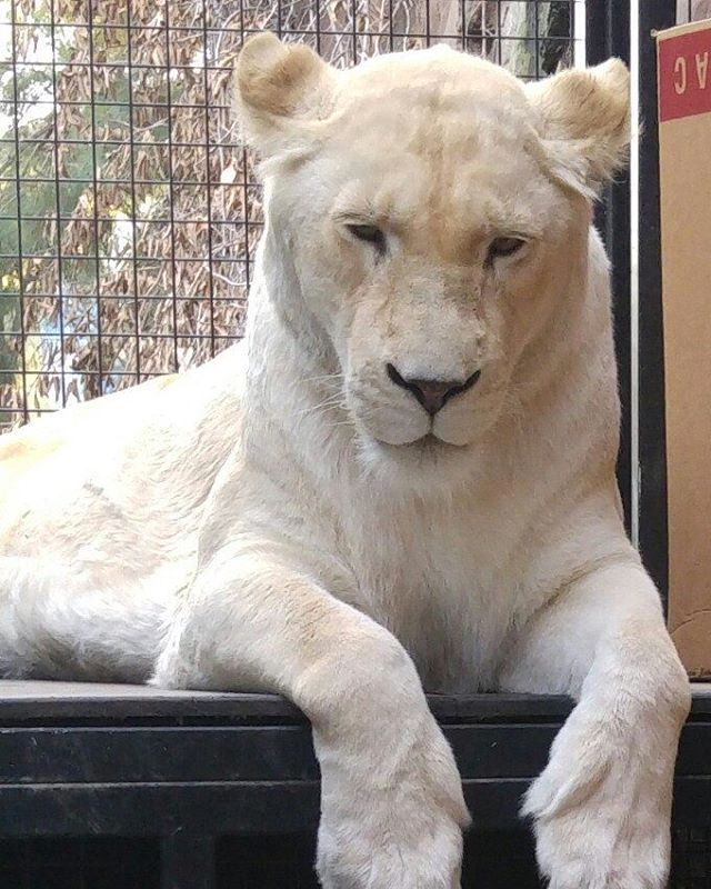Gorgeous animal up close on zoofari. #blonde #lion