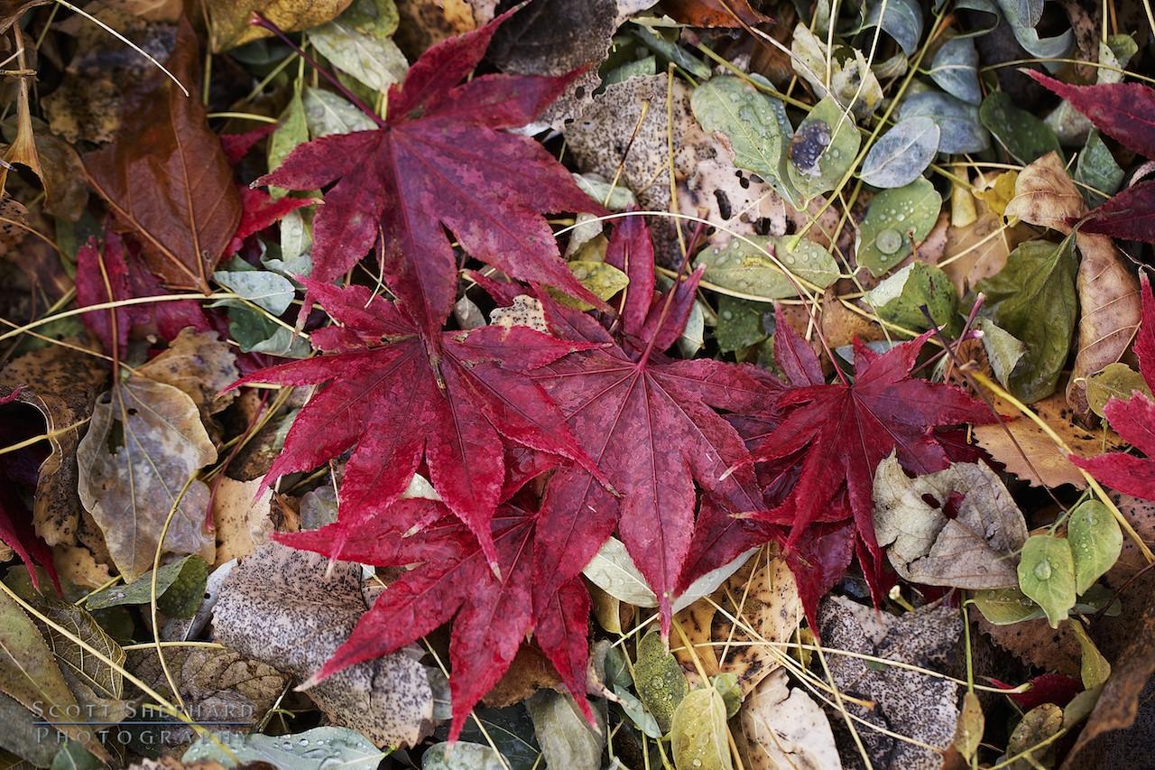 2013 11-20 Fall Colors At the Lauritzen Gardens by Watertown, South Dakota, photographer Scott Shephard