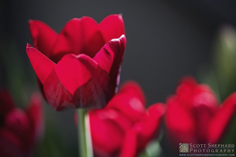 2014 04-30 A Tulip for You by Watertown, South Dakota, photographer Scott Shephard
