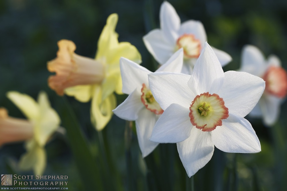 2014 05-22 Narcissus by Watertown, South Dakota, photographer Scott Shephard
