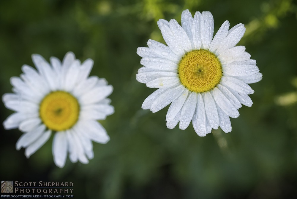 2014 06-21 Daisy, Daisy by Watertown photographer Scott Shephard