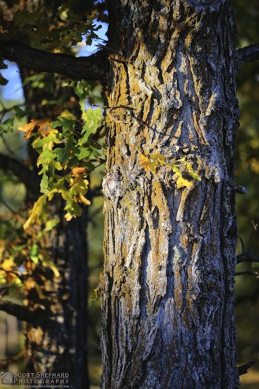 2014 09-24 The Mighty Oak by Watertown, South Dakota, photographer Scott Shephard