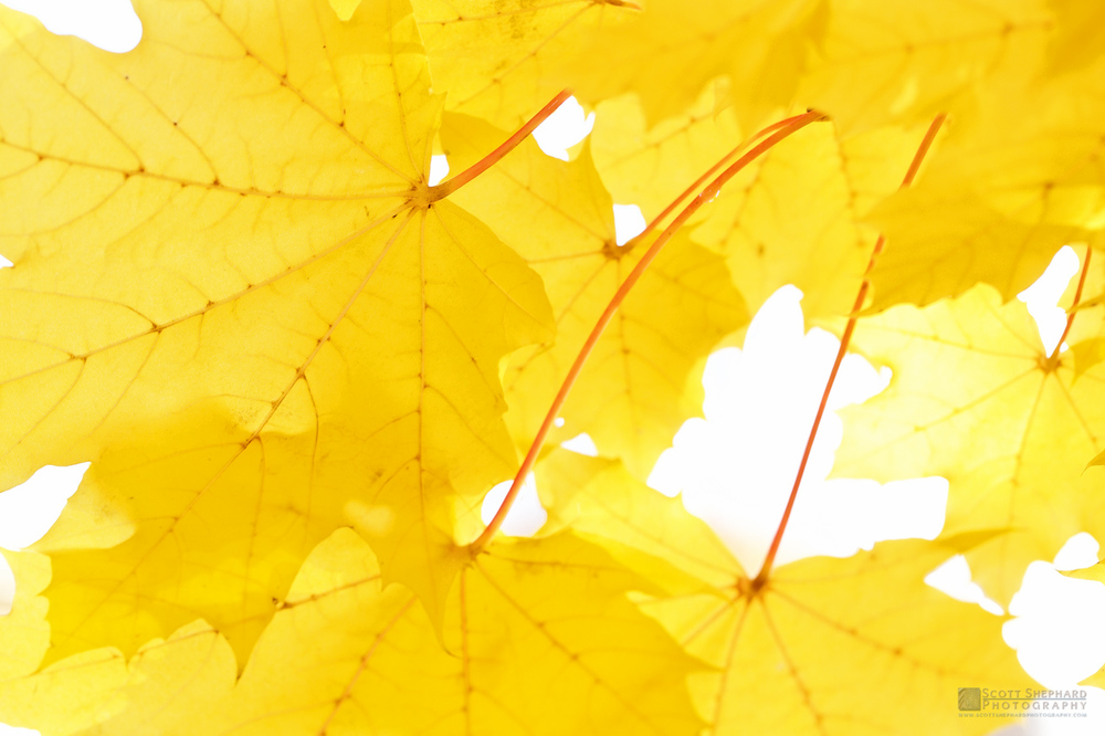 Yellow Maple Leaves.jpg