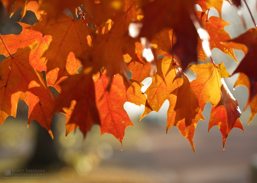 Fall Leaves IMG_2456.jpg