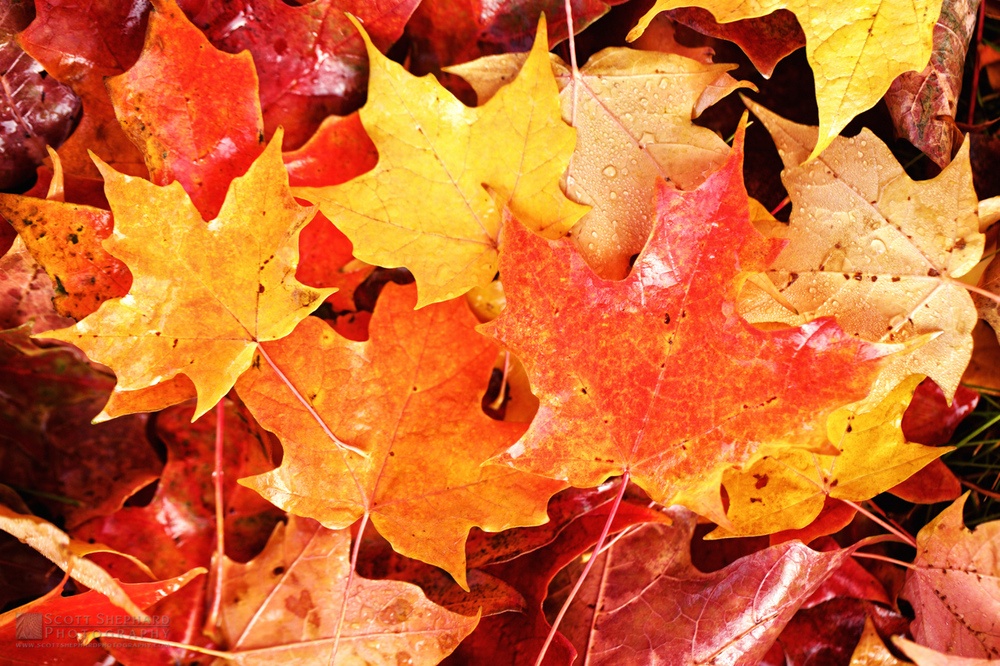 Fall Leaves IMG_2452.jpg