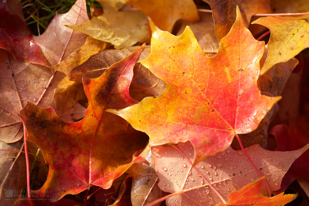 Fall Leaves IMG_2482.jpg