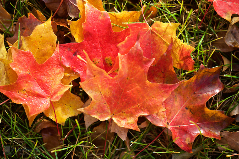 Fall Leaves IMG_2469.jpg