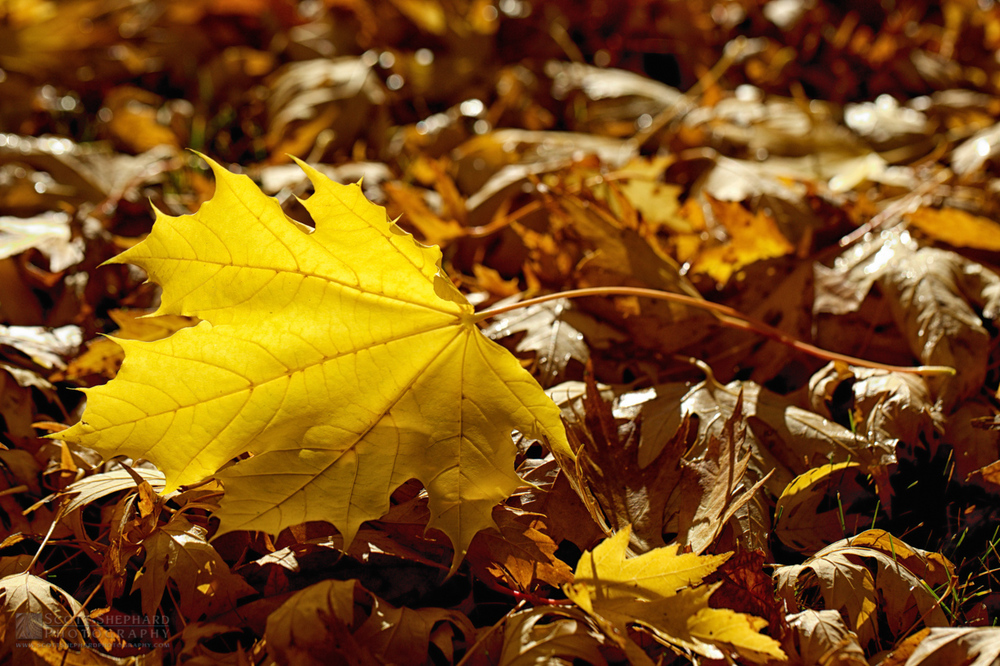 Fall Leaves IMG_2536.jpg