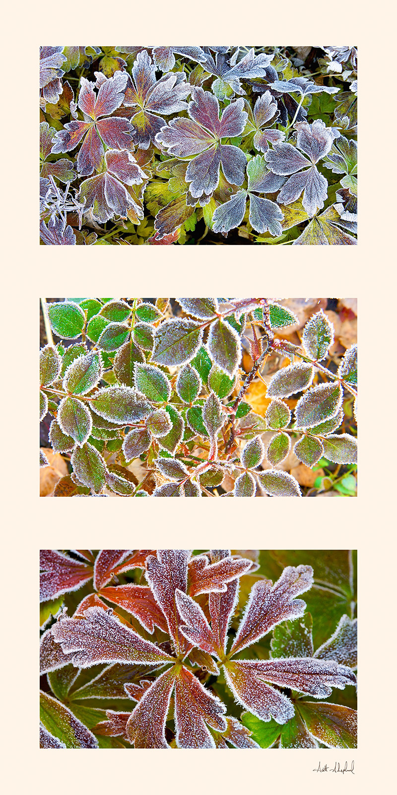 Frosty Leaves Triptych.jpg