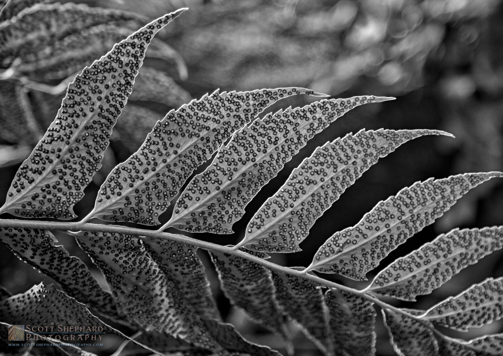 Fern in b&w.jpg