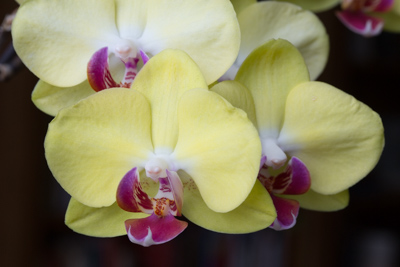 Yellow Orchid Low Key.jpg