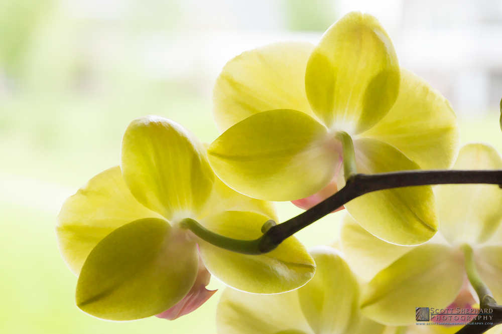 Yellow Orchids from behind.jpg
