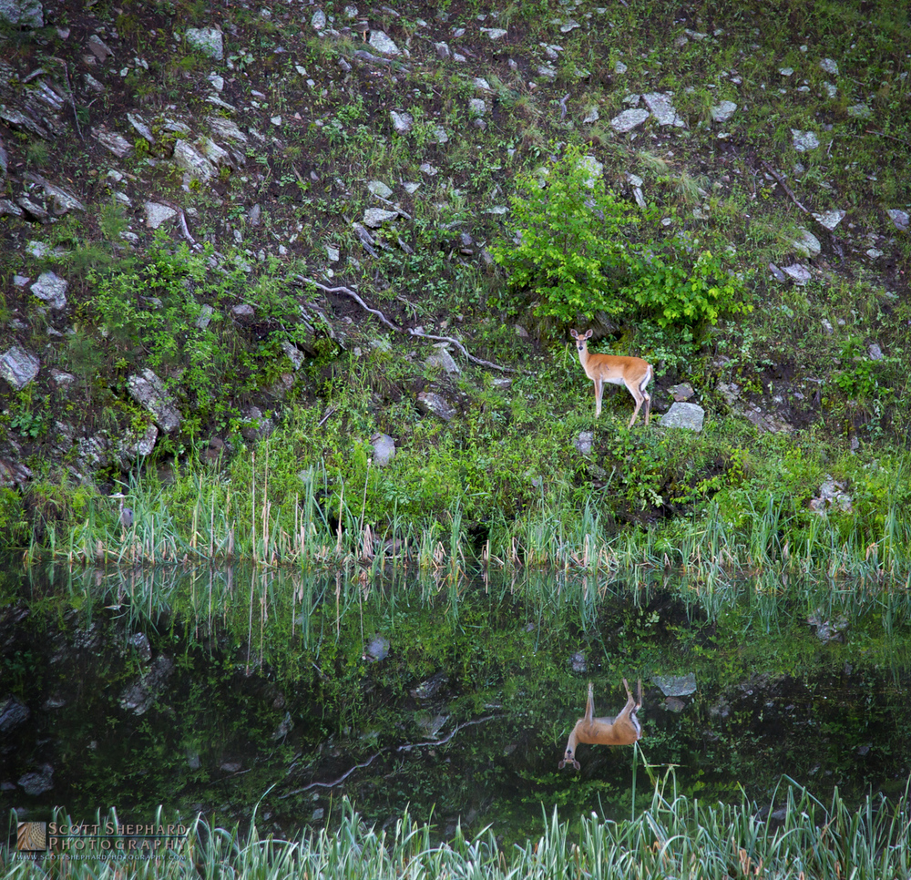 Deer and Its Reflection.jpg