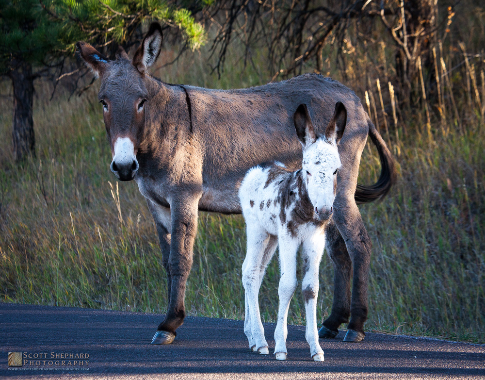 Two Burros in Custer State Park, SD.jpg