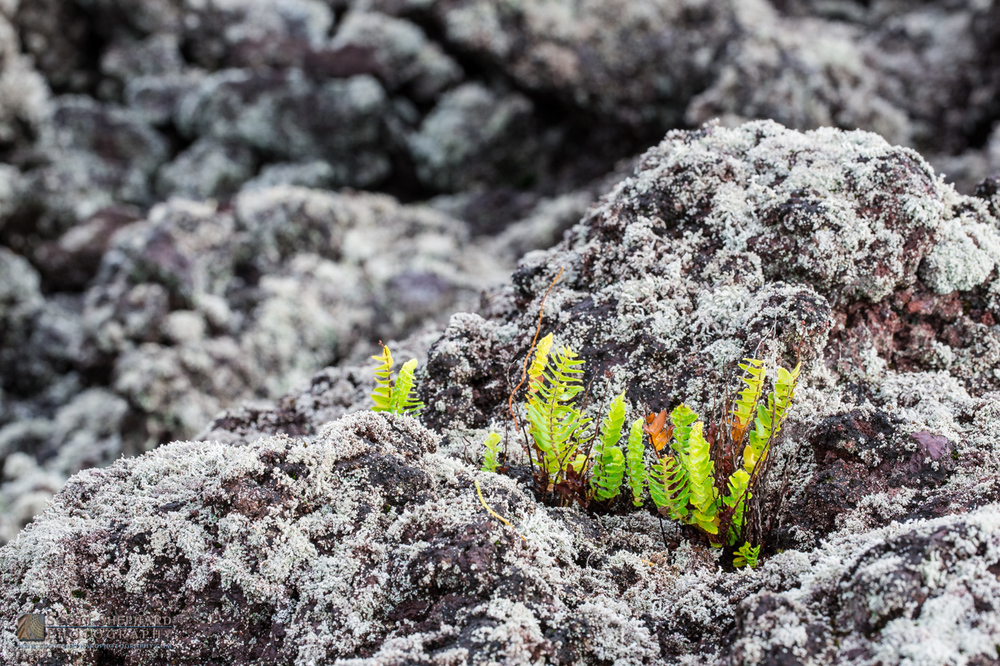 Ferns growing out of volcanic rocks.jpg