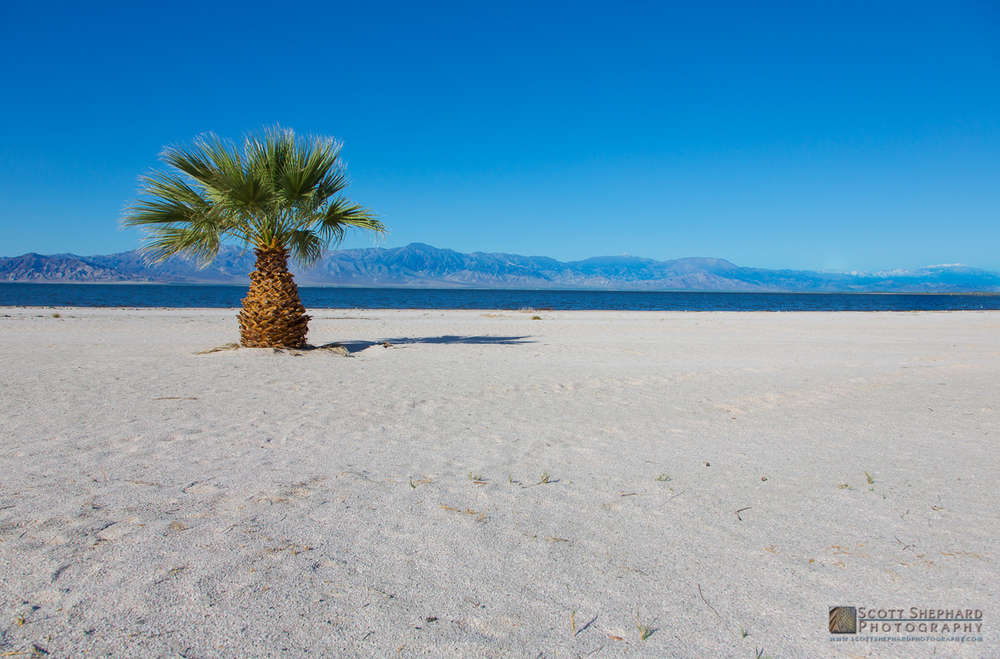 Date Palm at the Great Salton Sea.jpg