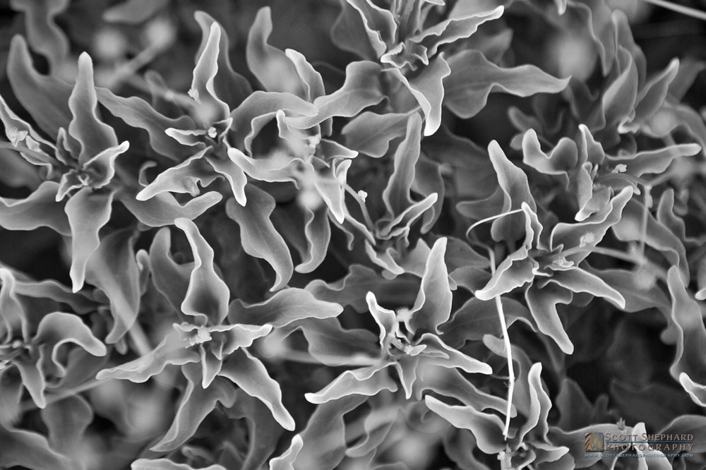 Desert Flower in B&W.jpg