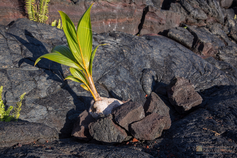 New Coconut Tree in Volcanic Rock.jpg