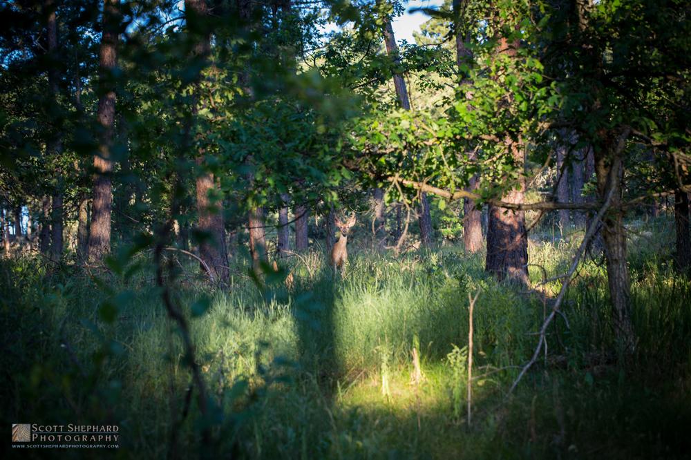 White Tailed Buck.jpg