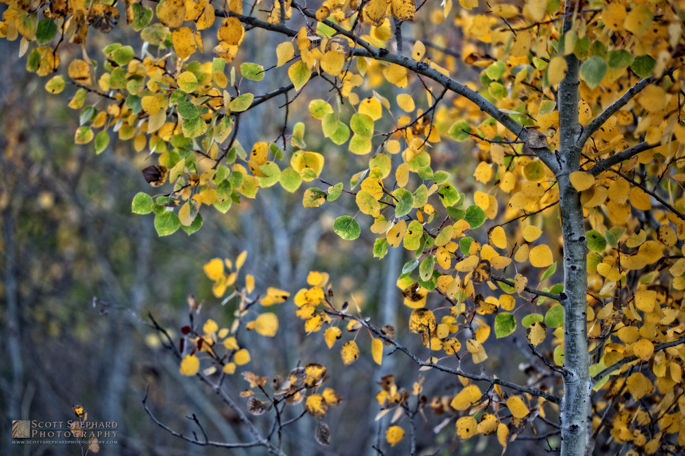 Fall Colors - Aspen.jpg