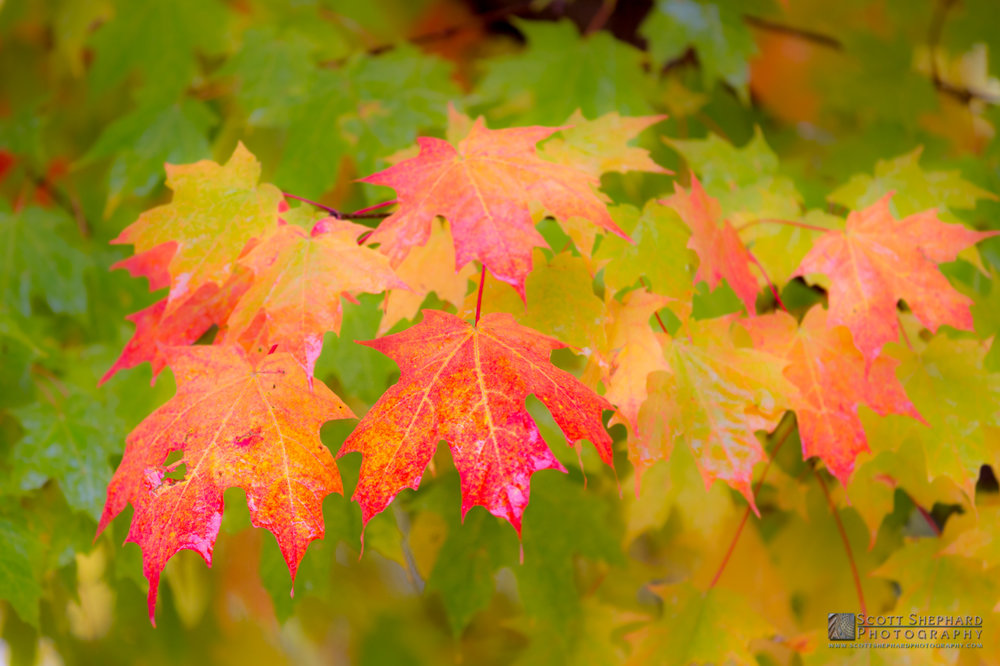 Fall Maple Leaves.jpg