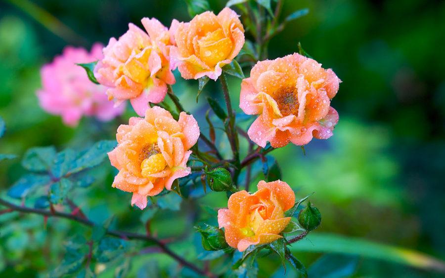 03-17-09-summer-roses