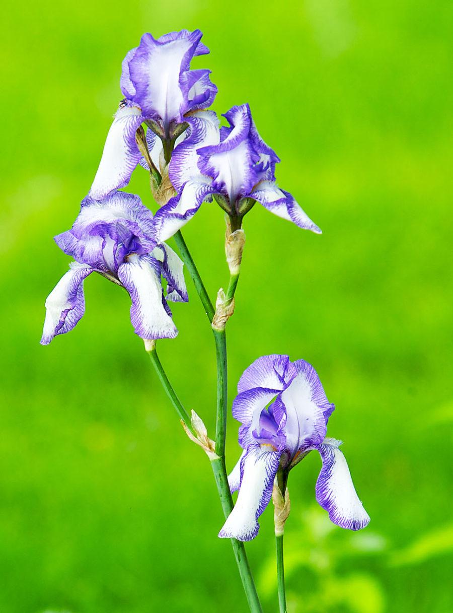 03-19-09-iris