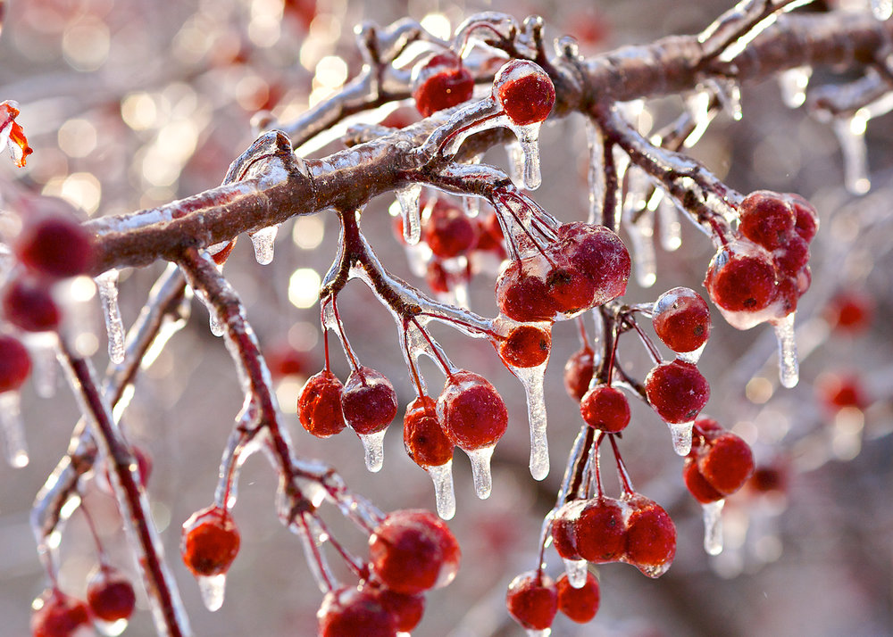 Frozen Crabapples.jpg