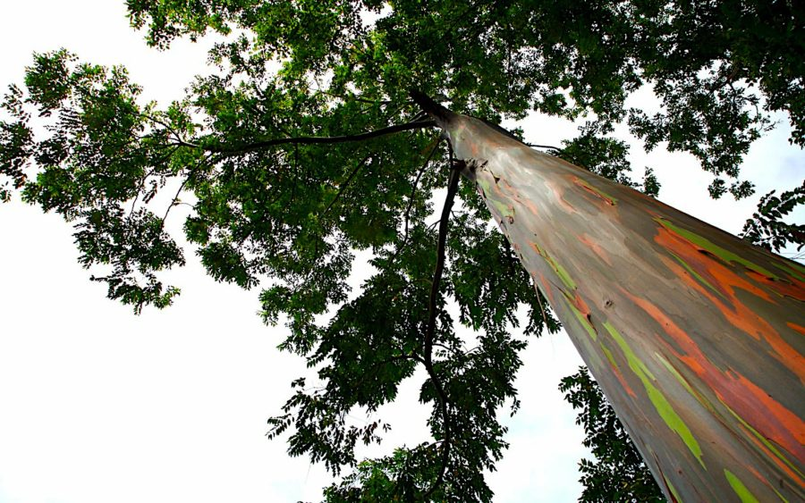 04-10-09-eucalyptus-tree-maui-hawaii