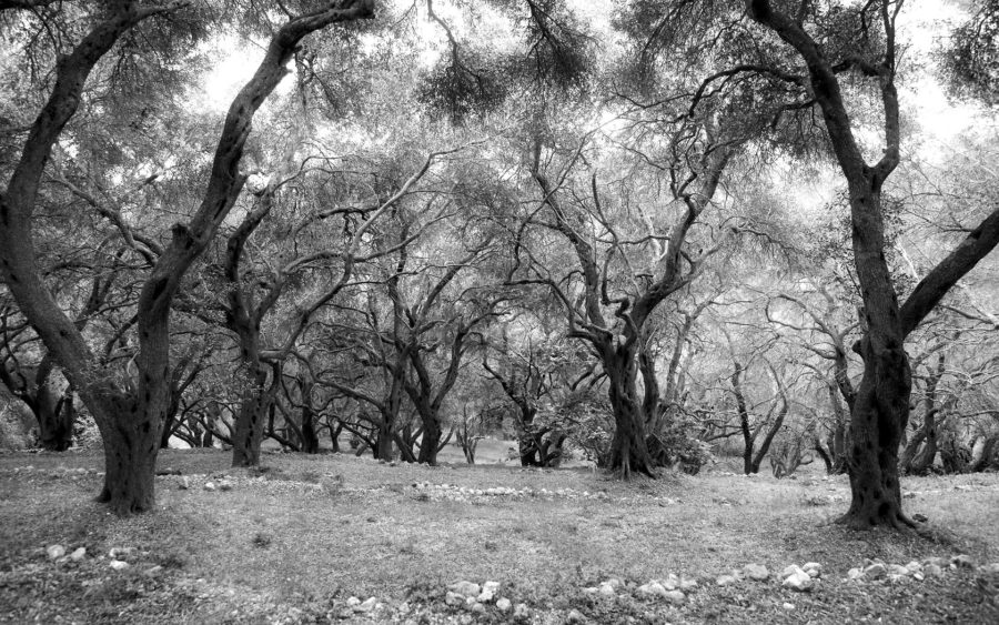 04-03-09-the-magic-olive-grove