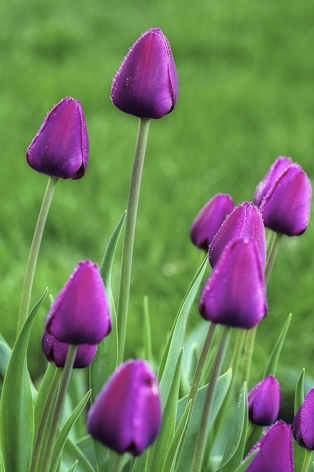 2013 05-19 My Neighbor's Tulips II by Scott Shephard