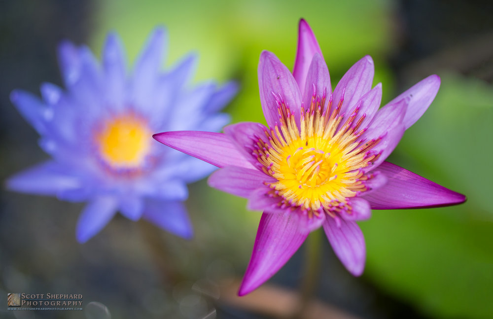 Water Lillies - Hawaii.jpg
