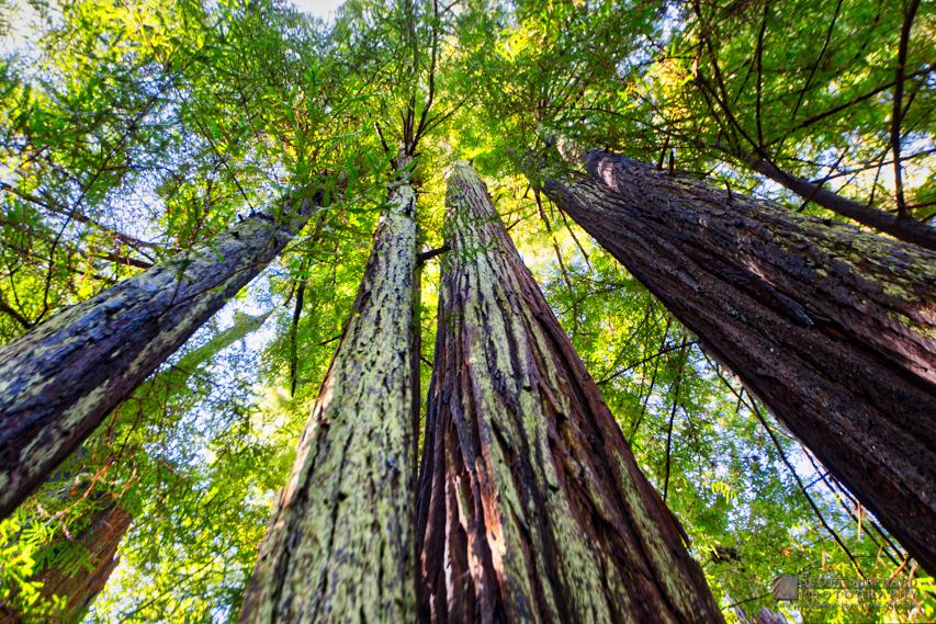 Redwood Trees.jpg