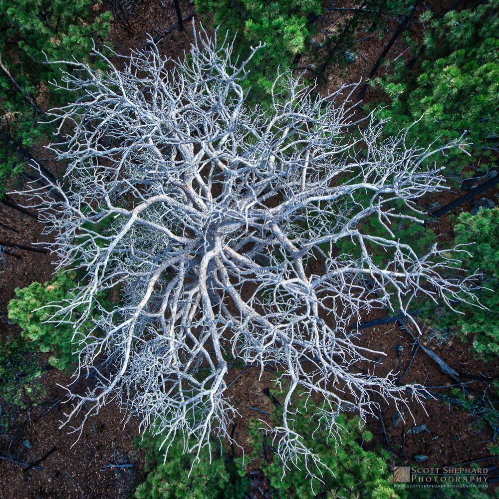 Pine Beetle Victim - Black Hills.jpg
