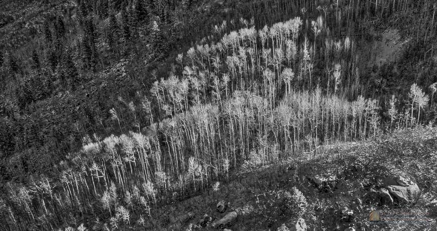 Aspen Trees in Early Light.jpg