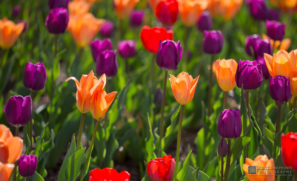 Tulip Bed at Denver Botanic Gardens.jpg