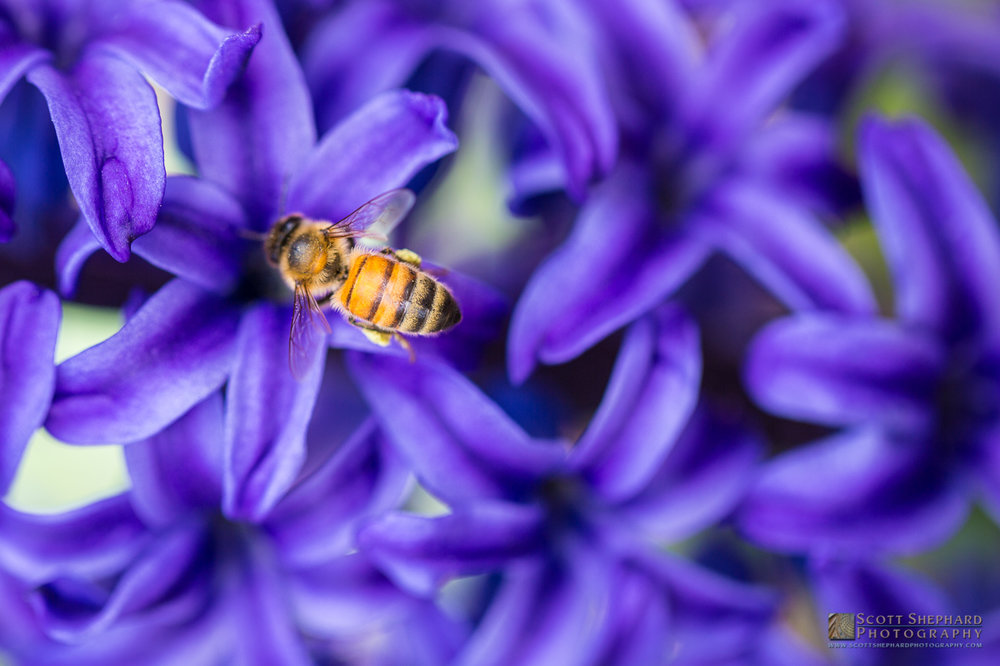Bee on Hyacinth Flower.jpg