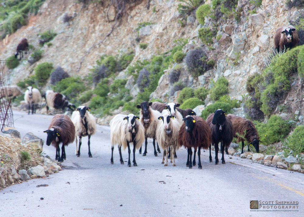 Sheep on Road in Crete.jpg