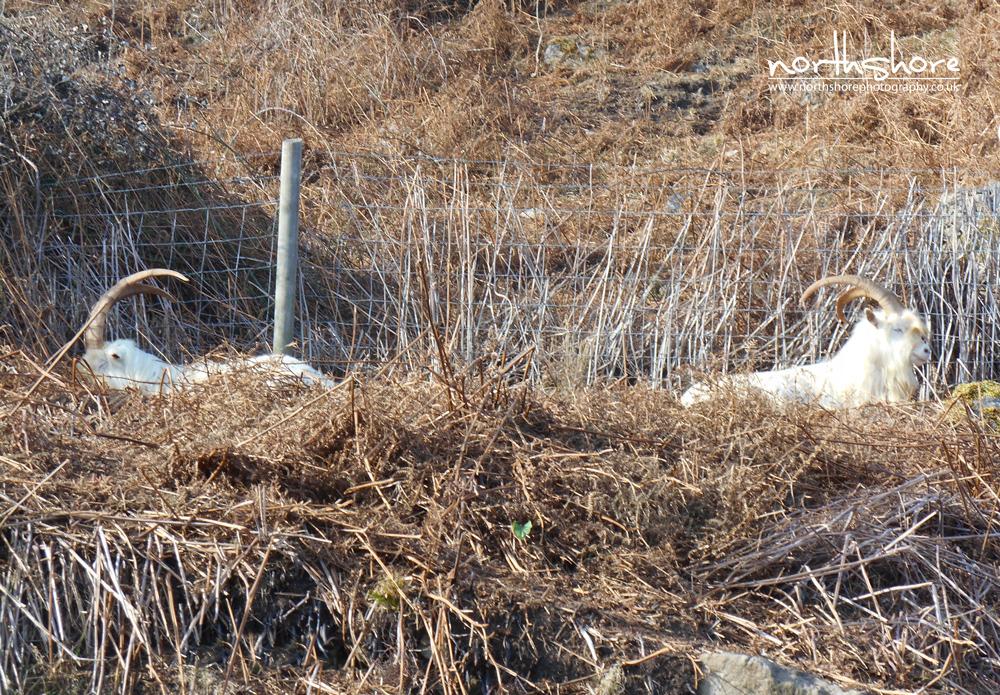 Llandudno-goats-picture.jpg