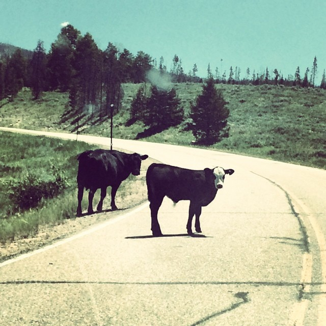 Even the cows are happier in Colorado! What a beautiful state. I wouldn't mind staying here for a while longer… #roadtrip